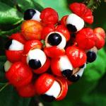 legal clenbuterol alternatives guarana seed extract