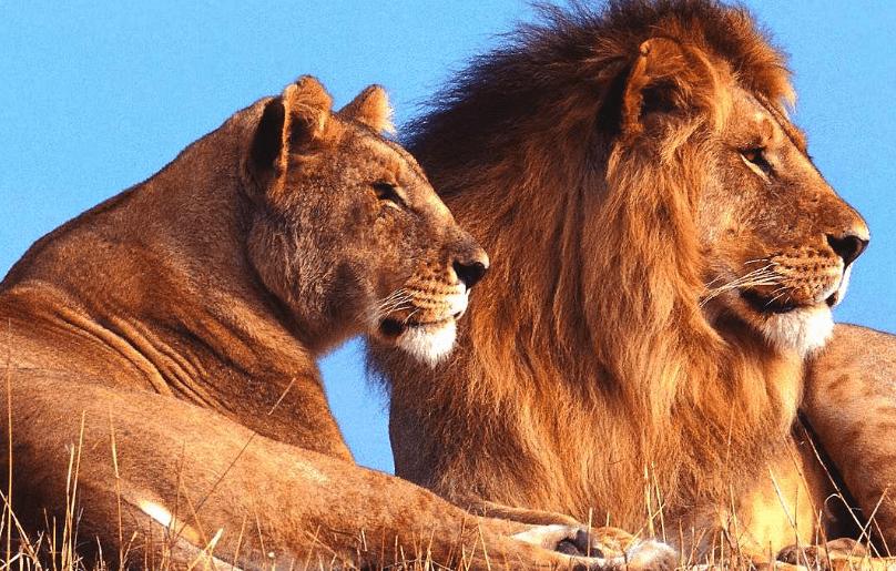 alpha-lion