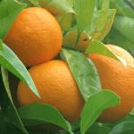 clenbutrol ingredients citrus aurantium