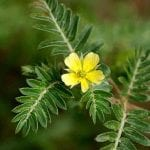 tribulus ingredient in anadrole review