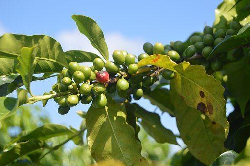 Broscience Leanbean vs Hourglass coffee