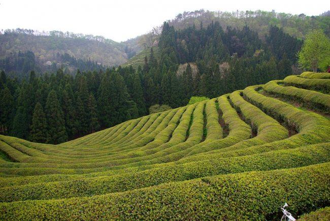 Broscience Leanbean vs Hourglass green tea