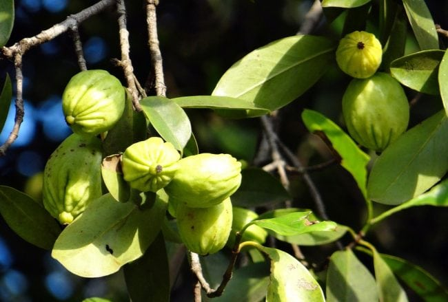 best garcinia cambogia plant