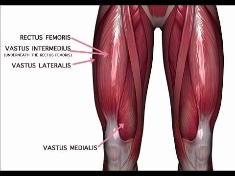 quad anatomy