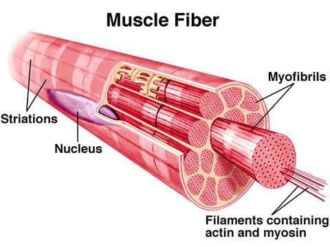 how does the muscles grow - muscle fibers