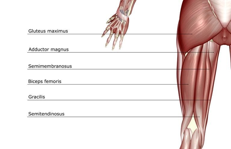 hamstrings anatomy