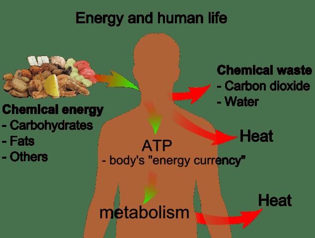 thermodynamics in the body