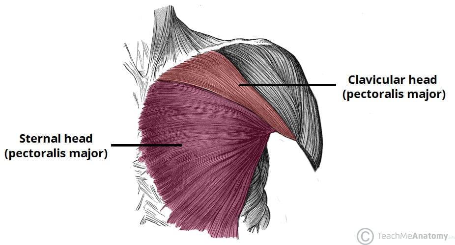 pectoral anatomy