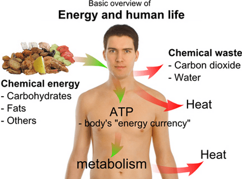 energy in humans