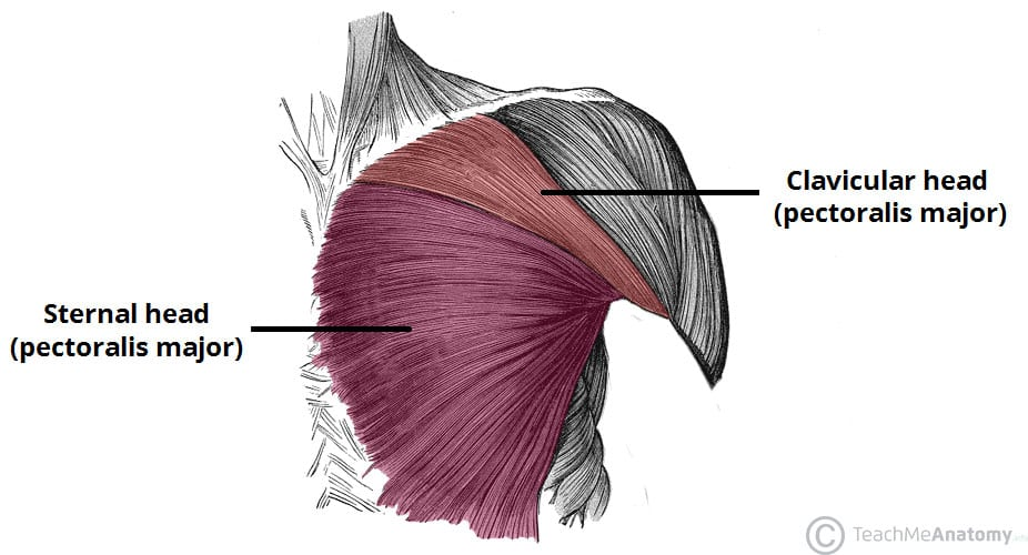Chest anatomy for upper chest workout