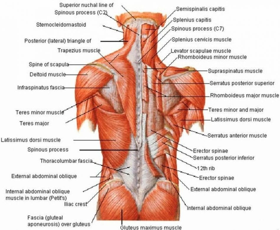 anatomy of hardcore back workout